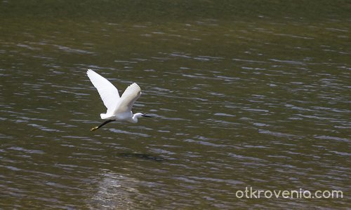 Бяла чапла