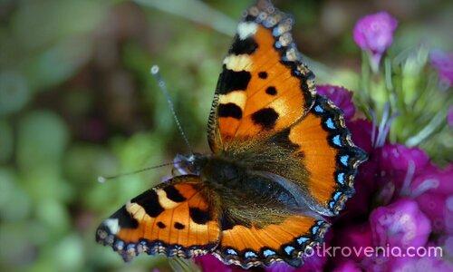 Да хванем пеперудката