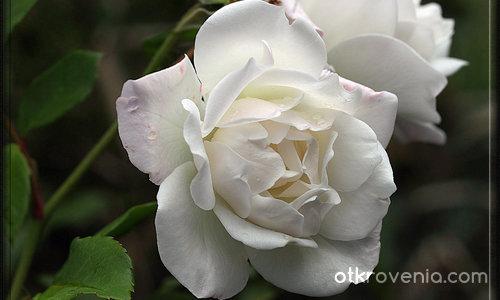 Бяла роза в жълта утрин