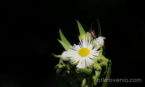 Цветенце с насекомо