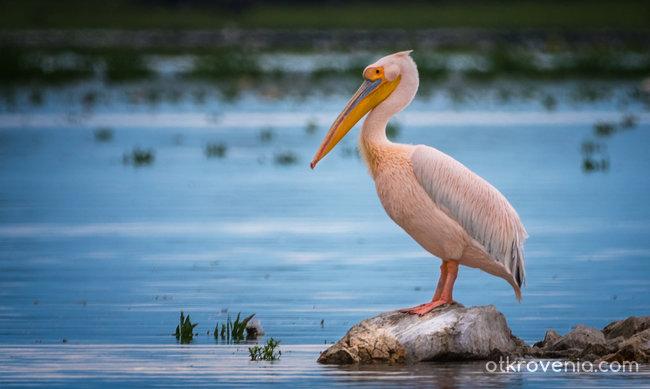 Розов пеликан