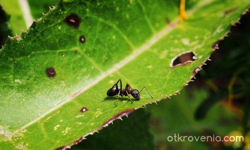 Мравчо