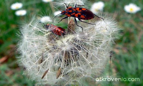 Любовта изпълва въздуха с парашути от  глухарчета