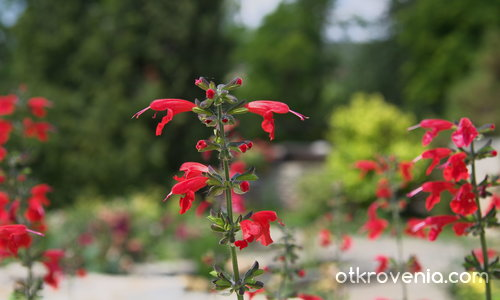 Червено цвете