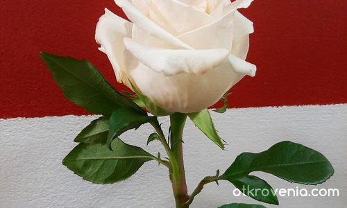 Бяла любов, бяла роза
