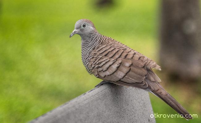 Zebra dove - представител на местния птичи свят