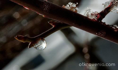 Слънчице, заключено в леда