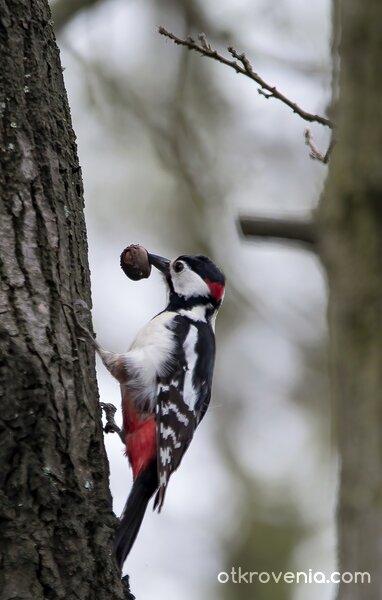 Кълвач / Woodpecker