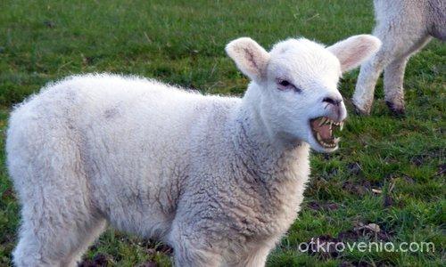 А стадото точи зъби
