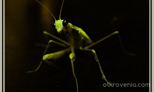 Богомолка /Prаying Mantis/