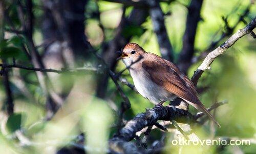 Южен славей / Nightingale