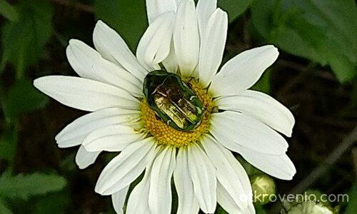 Сънят на бръмбара