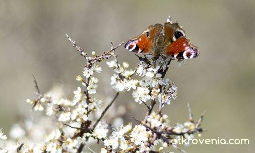 Ливадна пеперуда