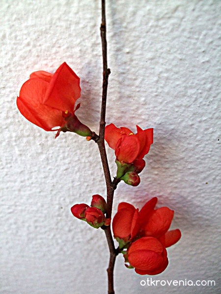 Цвят червен