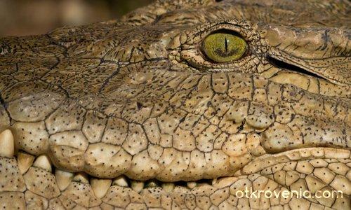 Око на крокодил