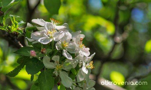 Ябълков копнеж