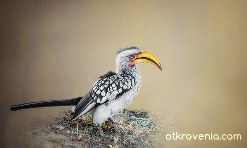 Hornbill или Птица Носорог