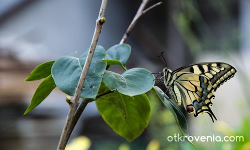 Как спят пеперудите