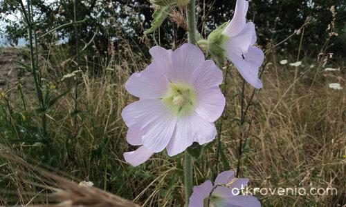 В полето, в листенцата на цвят от ружа те съзрях...