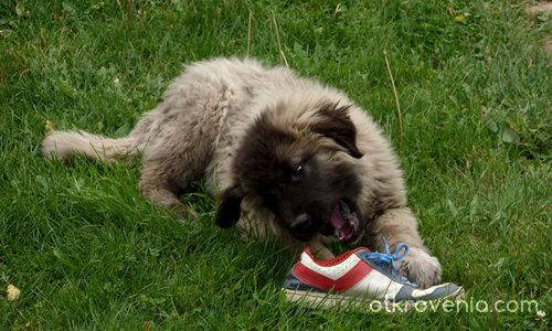 Caucasian mountain dog (3 месеца по-късно)