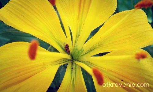 Жълтото цвете