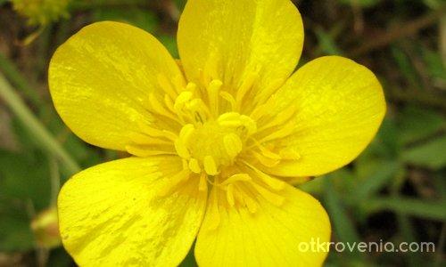 мъничко жълтичко, в тревата се крие...