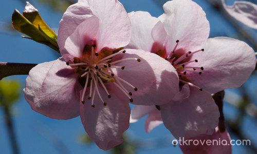 Прасковена пролет