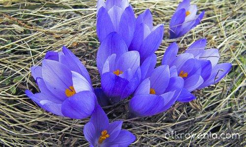 Минзухари за всички цветя :)