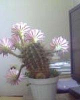 Цветии (Цвети)