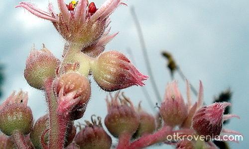 Захаросани цветя