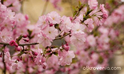 Сакура-Японска вишна