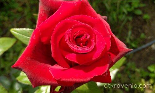 Цветът на любовта