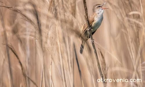 Блатна пойна птичка от Езерото Керкини