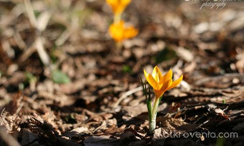 Предвестниче на пролетта 2