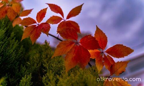 Листокрила есен