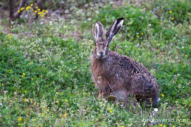 Див заек / Wild rabbit