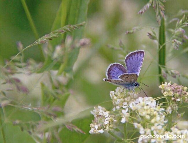 Синя пеперудка