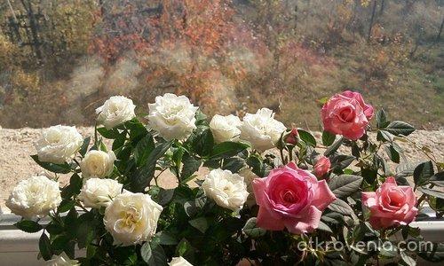 Рози и есен