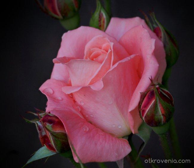 Розов блян