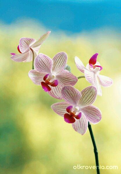 Весела орхидея