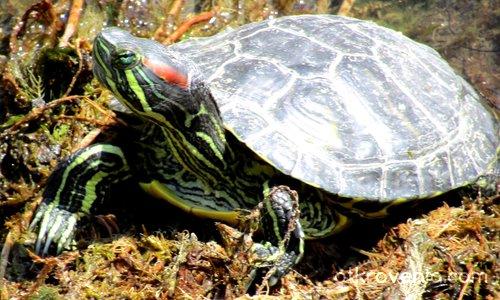 Червенобуза (блатна) костенурка