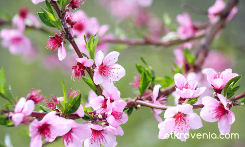 Пролетно розово