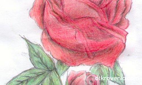 Дива Роза