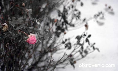 Неподарената роза