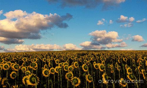 Облачно над слънчогледовата равнина