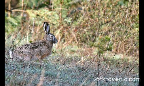 Див заек