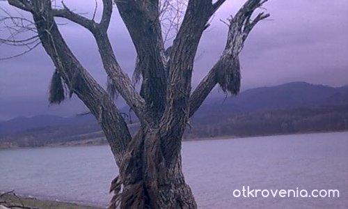дървото на вещиците
